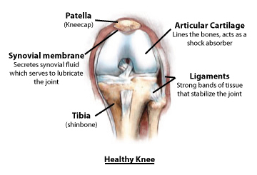 knee anatomy_healthy_diagram