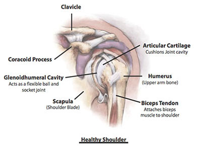 Healthy Shoulder anatomy