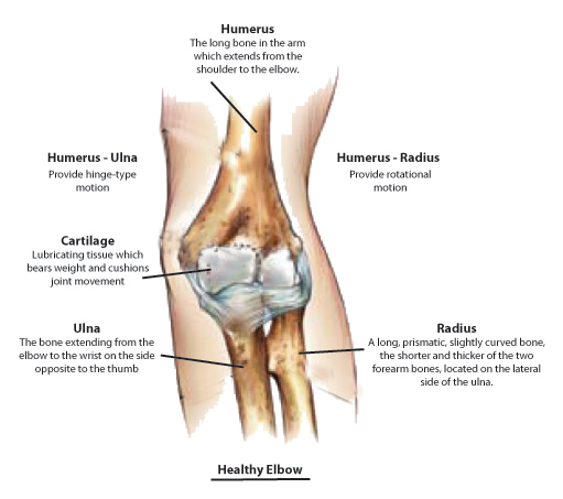 elbow anatomy, Human Body