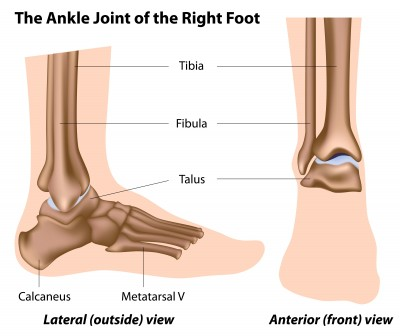 anatomy of the foot/ankle, Human Body