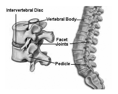 laterial cutaway of spine labeled